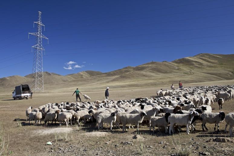 Sheep selection